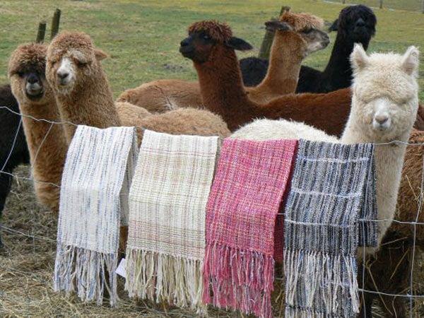 Japoneses resaltaron calidad de la fibra de alpaca peruana.
