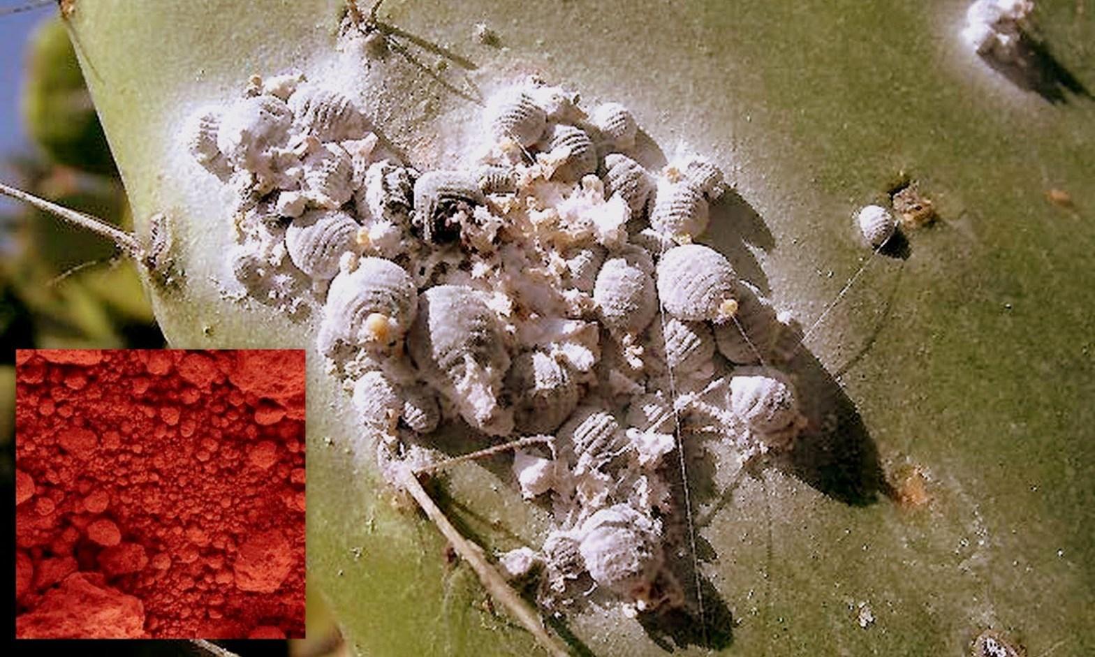 El 95% de la cochinilla que se exporta a nivel mundial, se realiza desde el Perú.