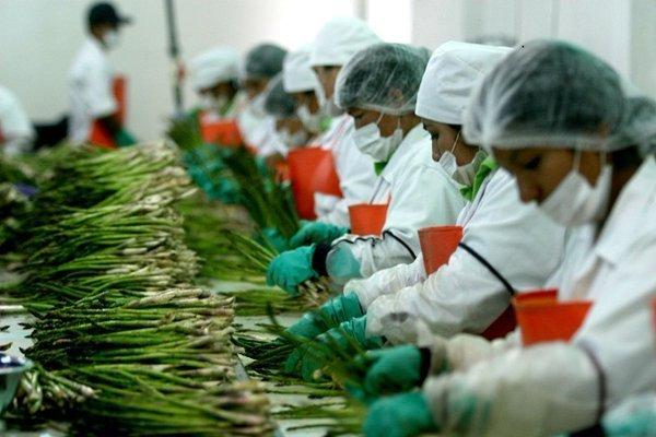 Los espárragos peruanos son requeridos principalmente por Estados Unidos y países europeos.