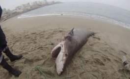 Enorme especie fue encontrado en playa caballeros y alertan sobre contaminación marina