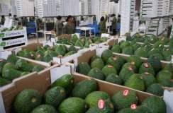 Los empresarios peruanos ya pueden exportar palta a la India.
