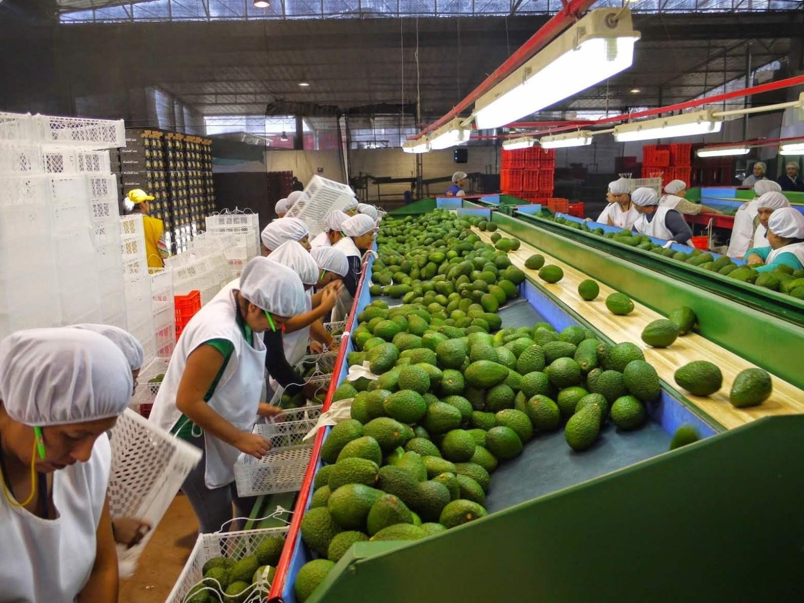 Adex: Holanda fue el principal importador de la palta peruana entre enero y abril