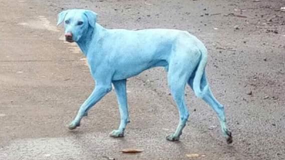 Revelaron el misterio de los perros azules de la India