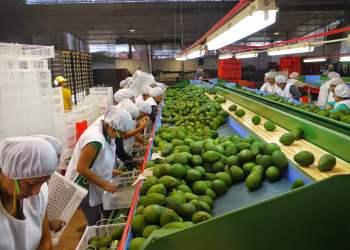 La palta lideró el ranking de exportaciones agrarias con valor agregado.