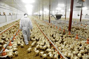 Por gripe aviar, Perú cierra sus fronteras a avícolas chilenas