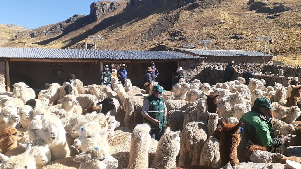 Día Nacional de la Alpaca: Implementan 2,985 cobertizos para proteger a camélidos