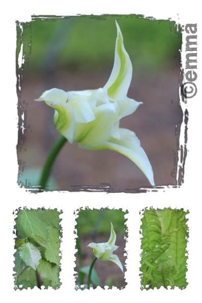 Valkoinen tulppaani