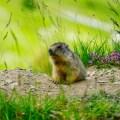 marmotte ©baptiste maltese