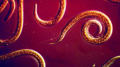 صورة علماء يقترحون استخدام الديدان لقتل الآفات على الخضار الفضائية