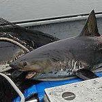 市場で売ってるサメの説明書きが恐ろしすぎる件ww