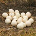 鶏の卵の30倍大きい「ダチョウの煮卵」をラーメンに入れた結果wwww