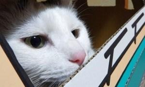猫はダンボールが好きらしいのでおうち作ったらクソ笑った