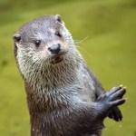 千葉の市川市動植物園の流しカワウソが可愛すぎる😍