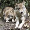 「イモよこせ!」手に持った焼き芋に群がってくるオオカミ犬達🐺