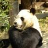 このパンダ絵を見て「トトロのパクリじゃん!」という奴がいて時の流れを感じた…