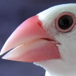 文鳥のヤバい写真が撮れてしまって一人で笑ってるwww文鳥衝撃画像www