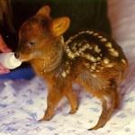 埼玉の動物園で生まれた世界最小のシカ「プーズー」の赤ちゃんが天使すぎる😍