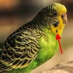 セキセイインコの●模様がついた羽を集めた結果…😱