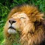 ある動物園で実に見事な「鼻うがい」を見せてくれるライオンが話題にw