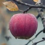 """ある""""特殊な条件下""""で実を結ぶ透明なリンゴ「ゴーストアップル」が神秘すぎる…😳"""