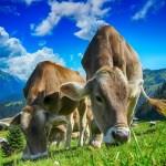 """""""餌袋マン""""に変身して牛に恐る恐る餌をあげていた子供。でも牛より怖いのは…😂"""