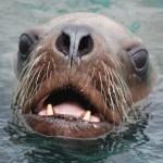 北海道石狩港に大量のトドが押し寄せる異常事態! 漁に甚大な被害が…