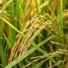 「何十万の損害だコレ…」ある米農家の致命的なミスで農道が大変なことに😨