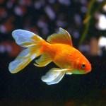祭りでゲットした「金魚」を長年大事に育てていたら…衝撃の事実が発覚www