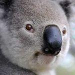 【レア】コアラのマーチを食べてたら…ヤベーのが出てきたwww