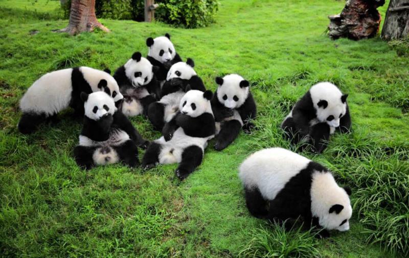 Destinasi Wisata China: Penangkaran Panda