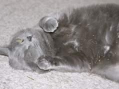 catnipin kedi üzerindeki etkisi