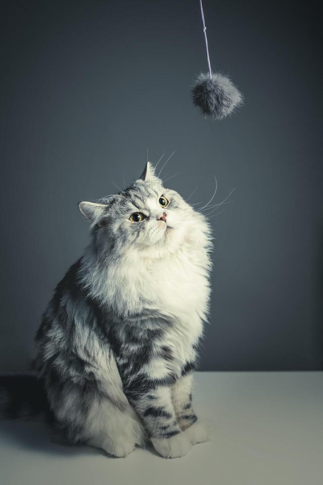 oyun oynayan iran kedisi