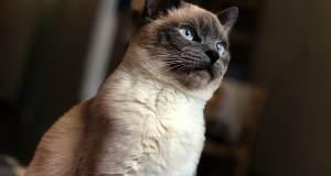 siyam kedisi yakın çekim