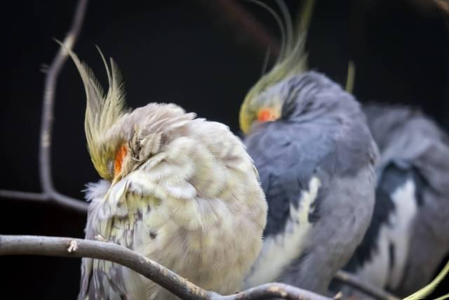 uyuyan sultan papağanları