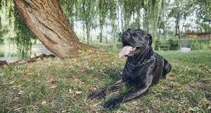 cane corso doğada keyif çatarken