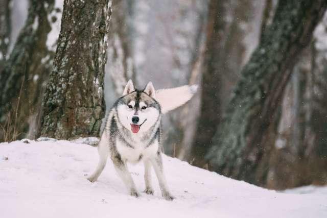 karlı havada oynayan sibirya kurdu