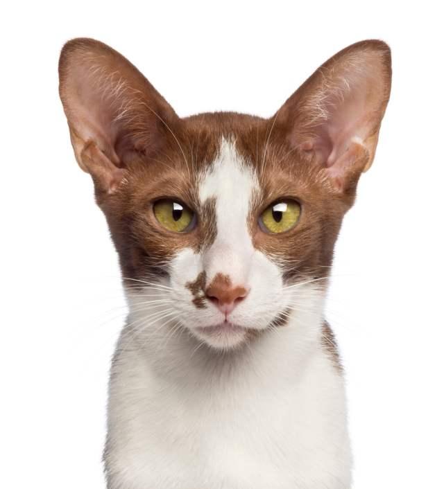 yakın çekim kedi oryantal kısa tüylü