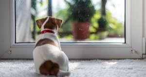jack russel halıda oturmuş camdan dışarı seyrediyor