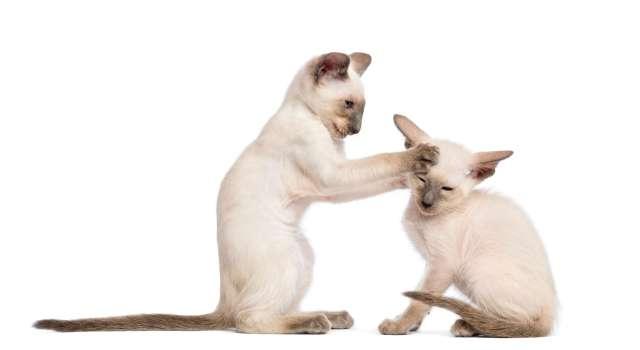 9 haftalık 2 oriental shorthair yavrusu oyun oynuyor