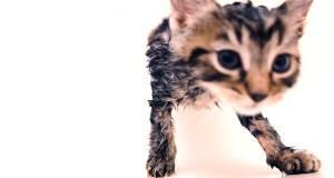 ıslak yavru tekir