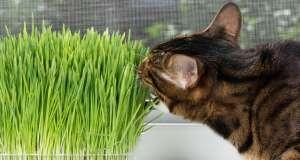 Kedi çimini evde bulundurmak, kediniz için hem keyifli bir deneyim hemde sağlıklı bir laksatif alternatifidir.