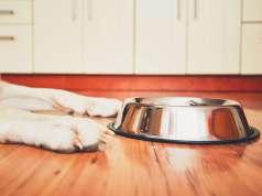 boş tabağın başında mama bekleyen köpek
