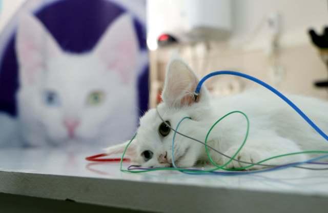 İşitme testinden geçen Yavru Van kedisi