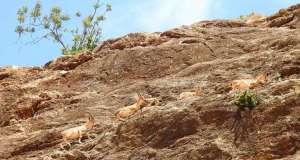 Çengel boynuzlu dağ keçilerinin zorlu yolculuğu