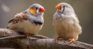 dişi ve erkek yetişkin iki hint bülbülü ağaç dalında tünemiş