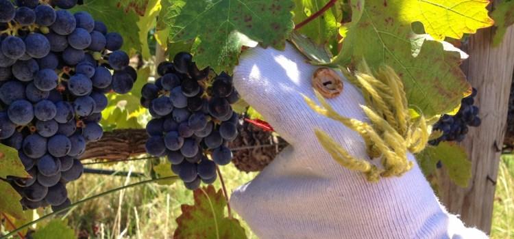 franschhoek calcetin viñedos