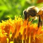 El drama de las abejas en Argentina y Chile