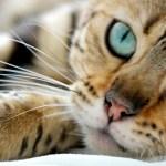 El camino del gato hasta convertirse en un animal doméstico