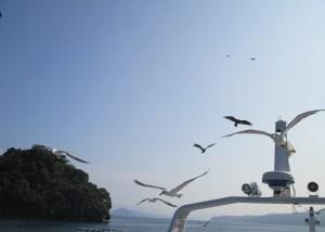伊根湾遊覧船に群れるカモメたち