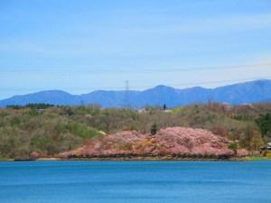 水色とピンクが美しい恵那峡の桜